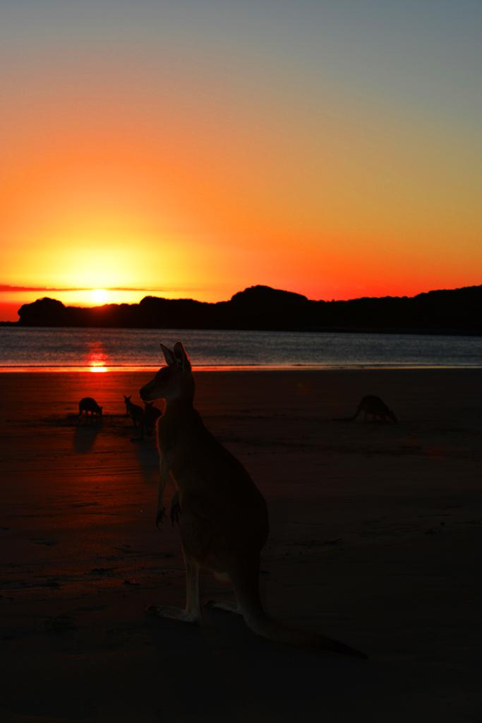 cape hillsborough kangaroos