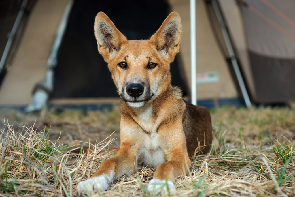 cute dingo pup on Fraser Island outside our tent