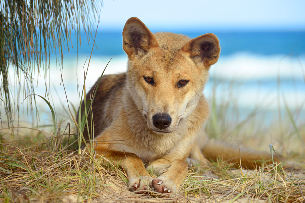 dingo in our camp while camping on fraser island