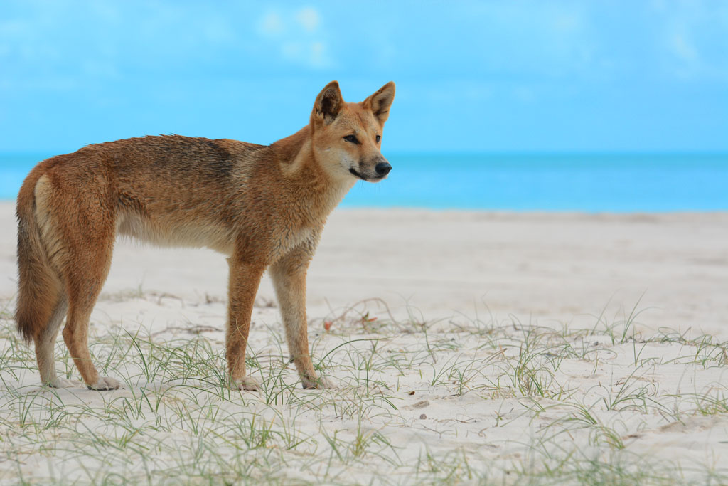 dingo on the beach on fraser island
