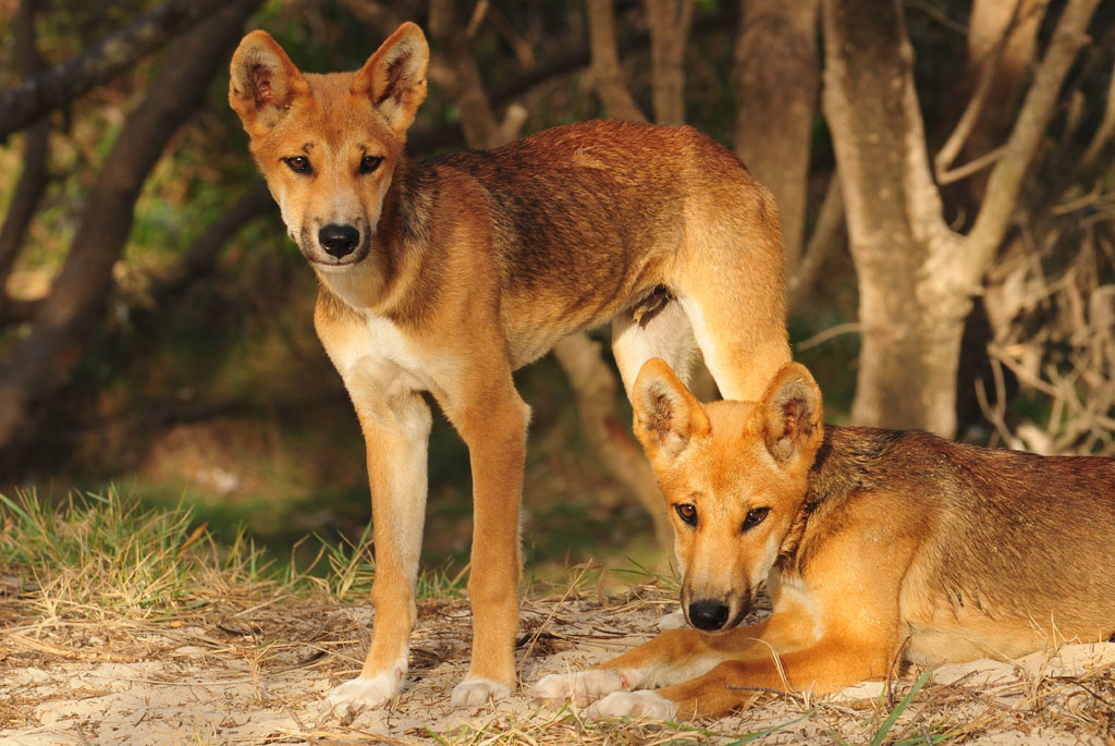 dingo pups at our camp