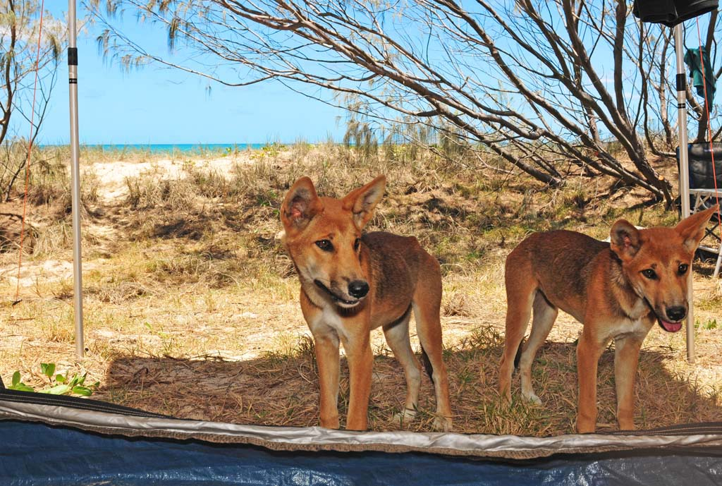 Dingoes Fraser Island