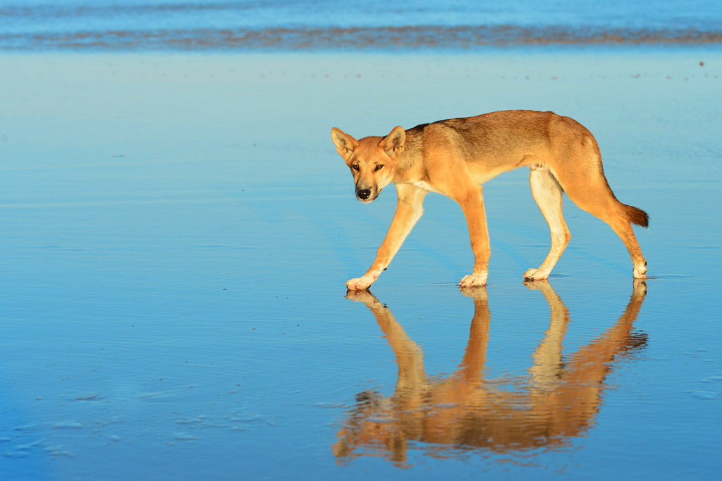 dingo reflection