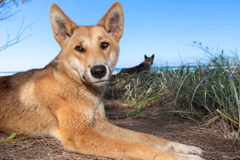 dingoes on fraser island