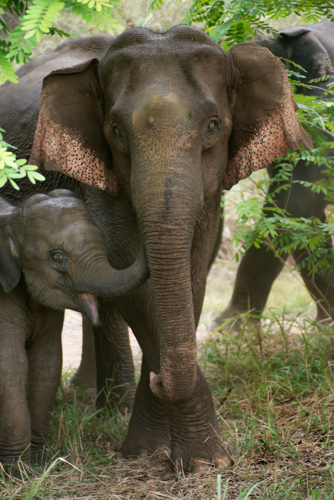 mum and baby wild elephants in Thailand