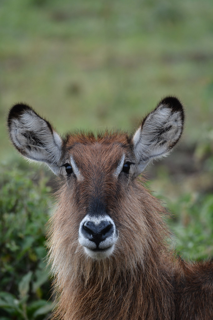 a shy female waterbuck