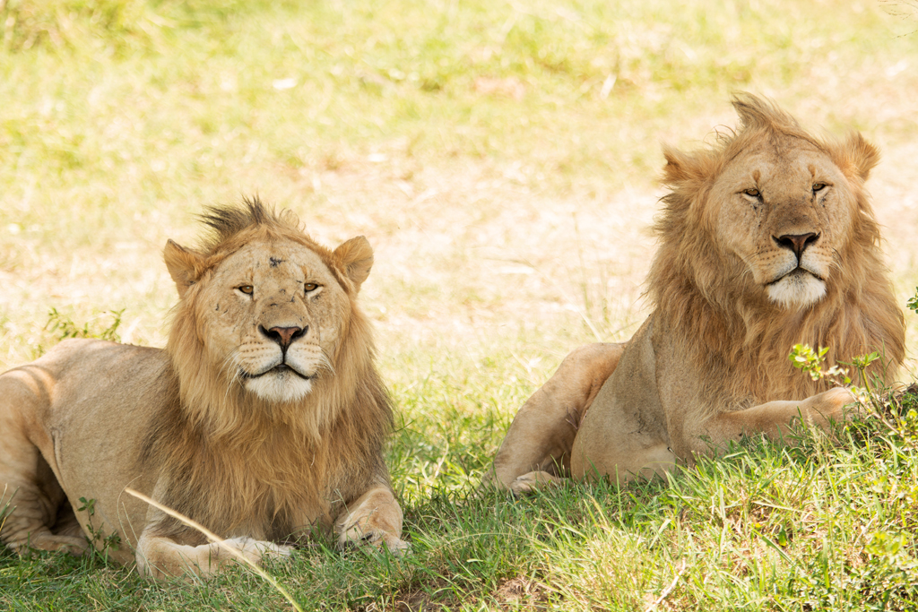 lion brothers in masai mara