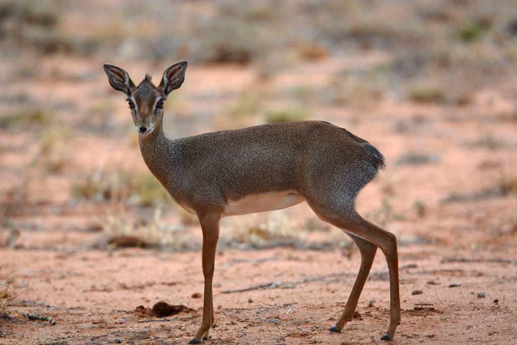 Dik Diks find sanctuary at Ithumba