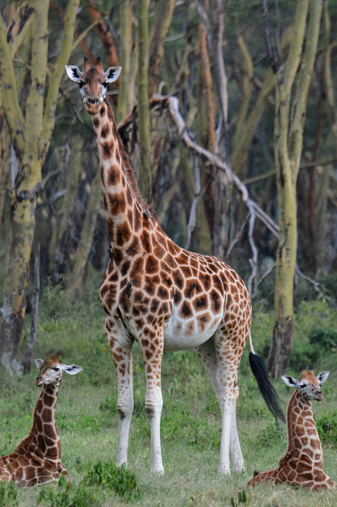 Giraffe and two babies at Lake Nakuru