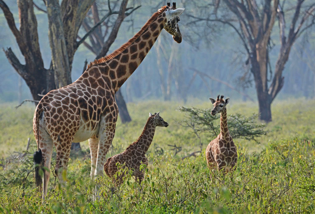 Giraffes at Lake Nakuru National Park