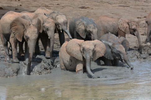 Ithumba orphan elephants in mud bath