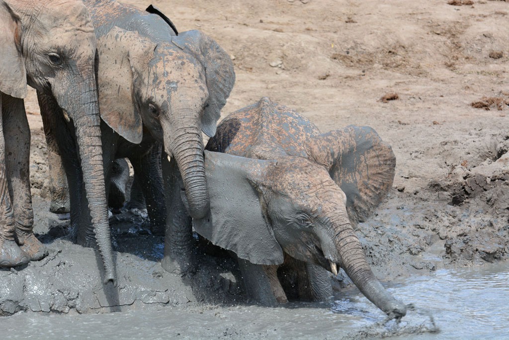 Kandecha the baby elephant in the mud bath at Ithumba
