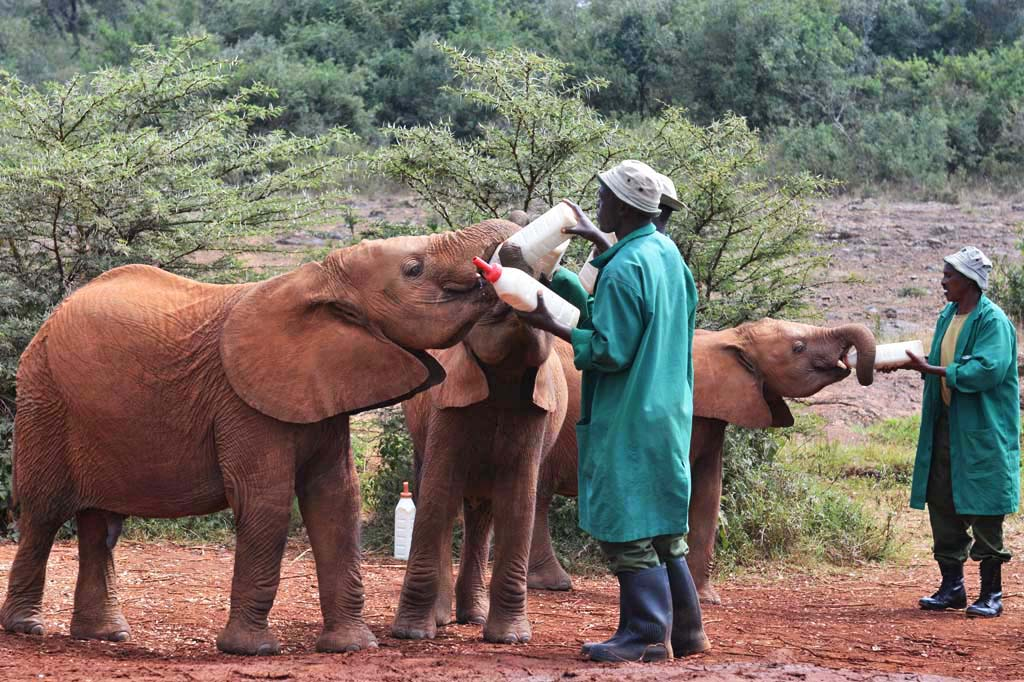 Keepers and baby elephants during milk bottle time