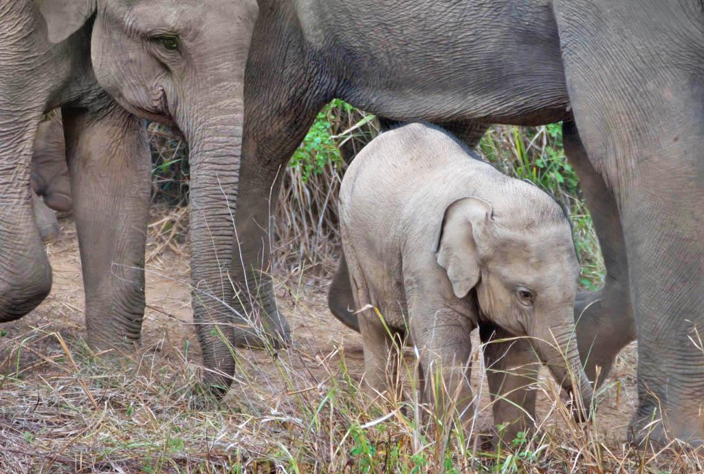 Kui Buri elephant family