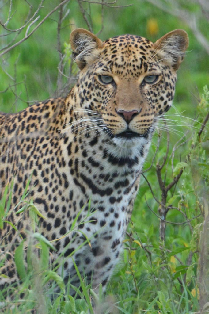 Leopard at Lake Nakuru national park