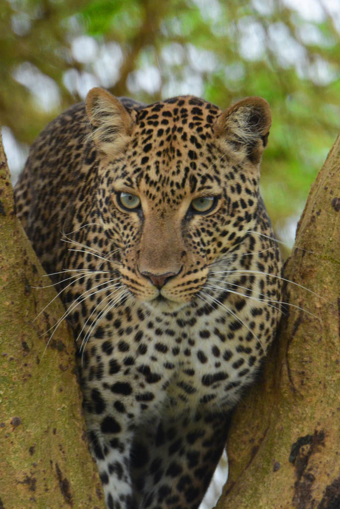 Leopard at Lake Nakuru