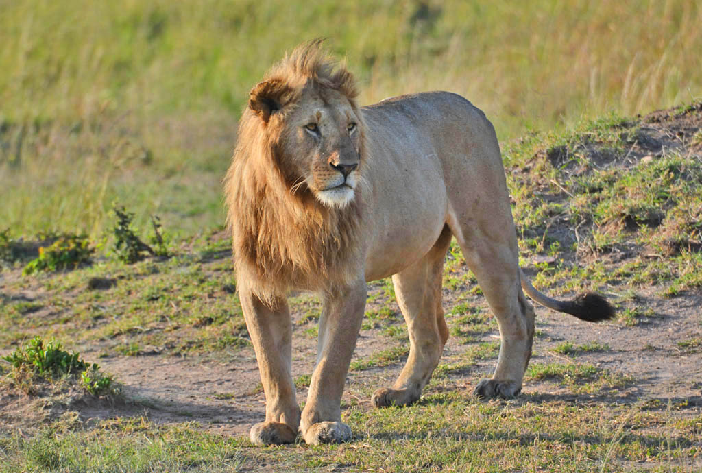 lion in the masai mara