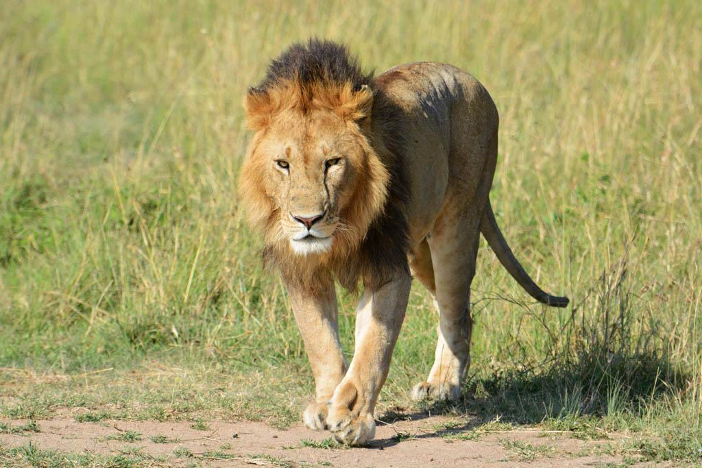 Masai bachelor lion