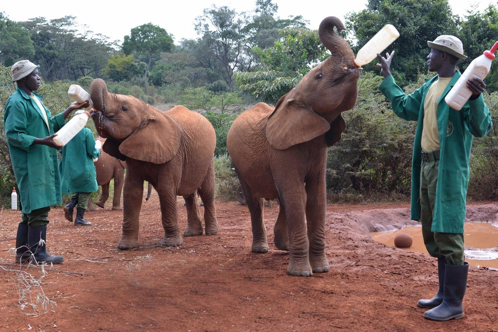 The baby elephants love their milk bottles at Nairobi Elephant Orphanage