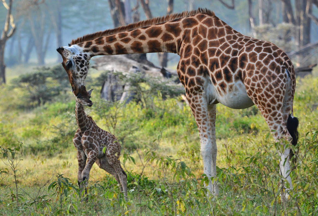 Newborn giraffe at Lake Nakuru