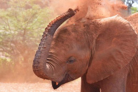 Baby elephant plays in the red dirt at Nairobi elephant orphanage