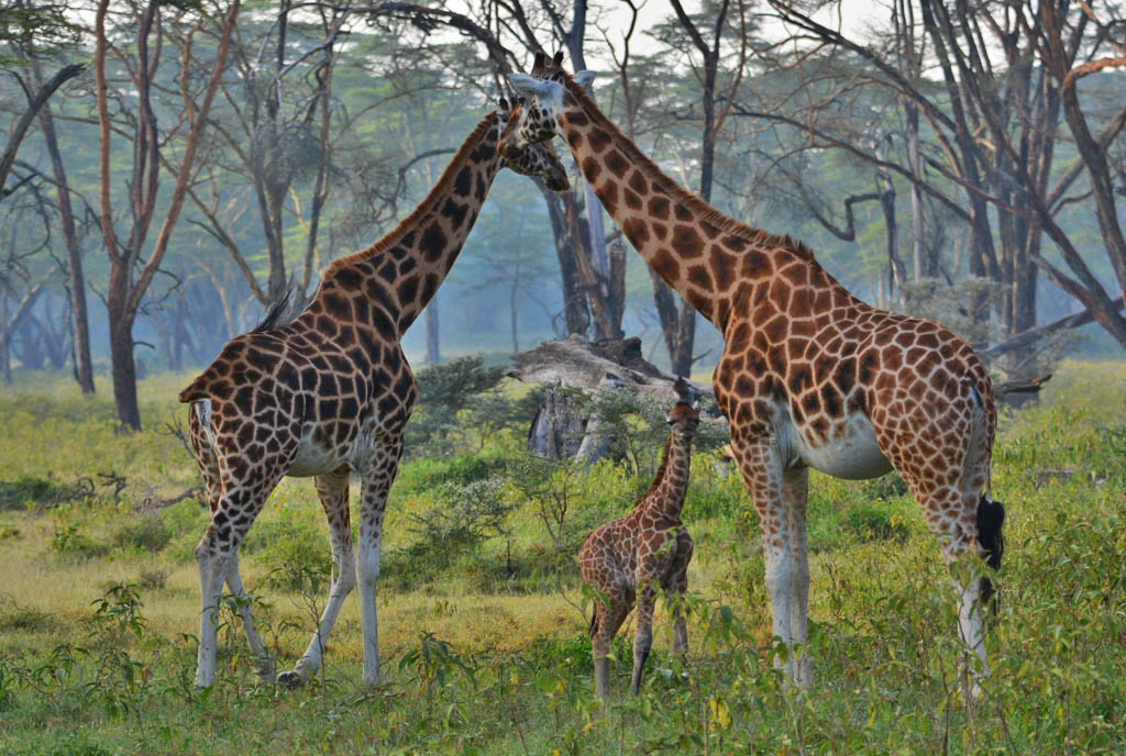 Rothschild Giraffes at Lake Nakuru