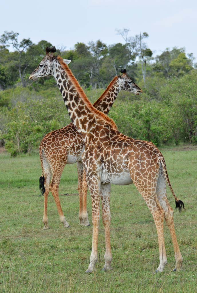 The beautiful giraffes are a part of the scenery in the masai mara