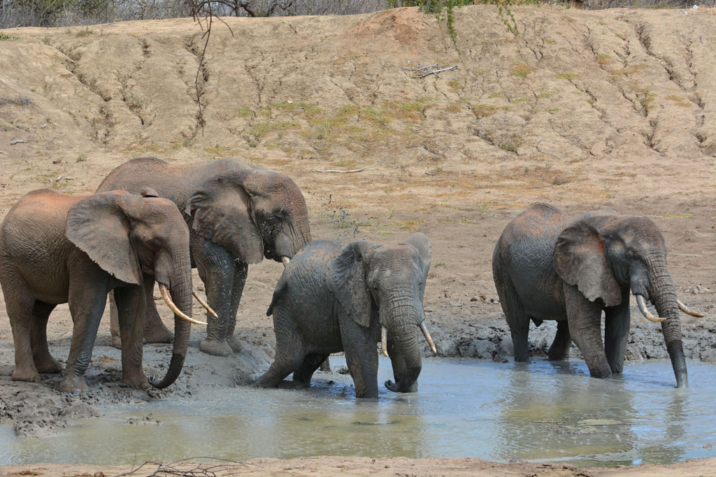 The wild elephants of Tsavo