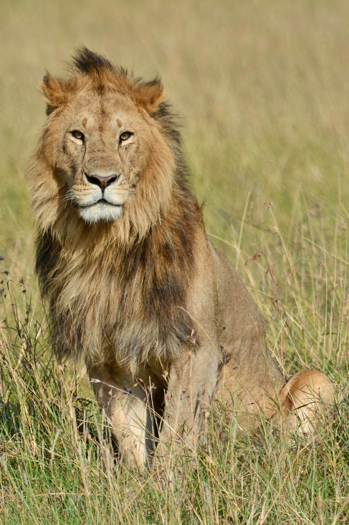 dominant male in the masai mara