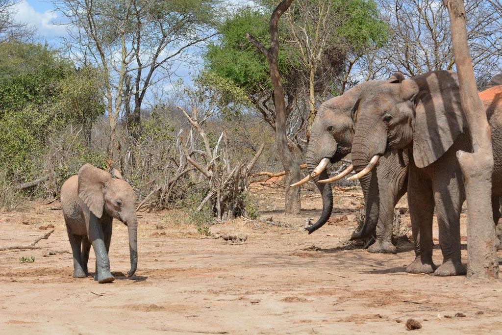 Wild Elephants look on as Bongo the little orphan walks past.