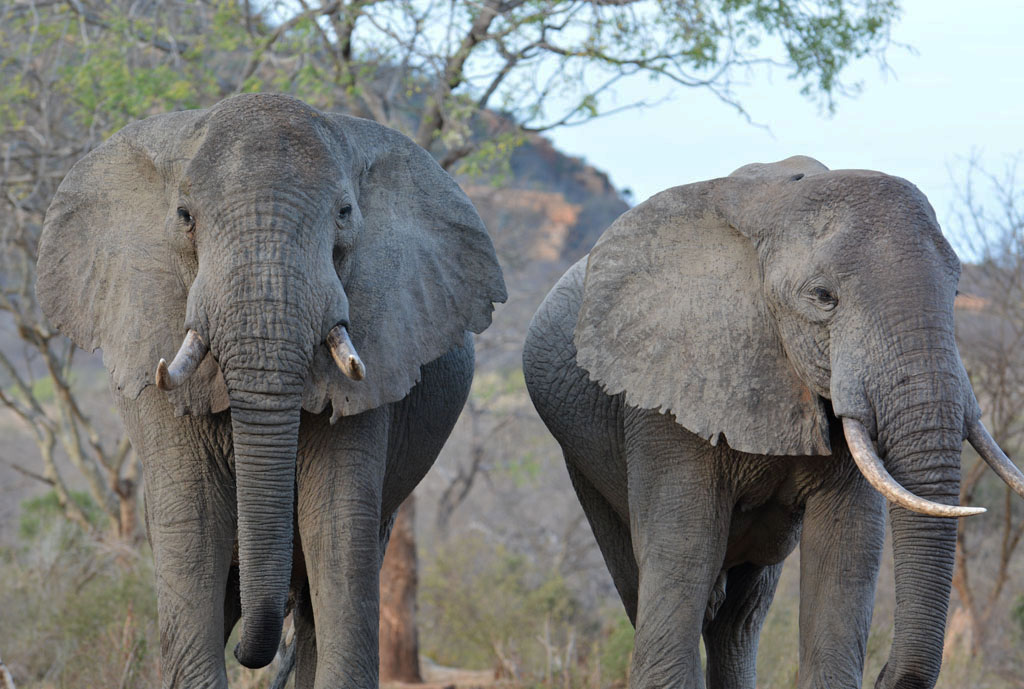 wild elephants at ithumba