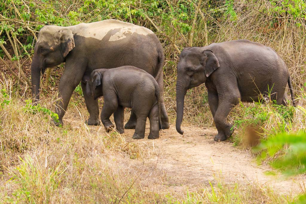 a family of wild elephants in thailand