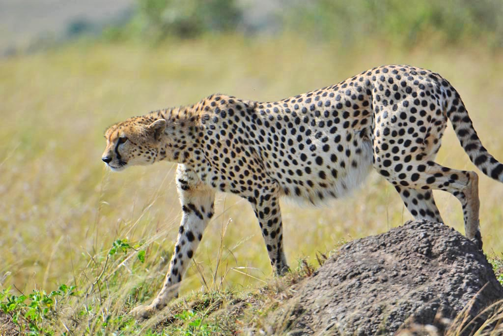 a pregnant cheetah in the masai mara