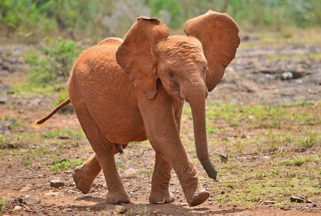 baby elephant rushes for milk bottle time