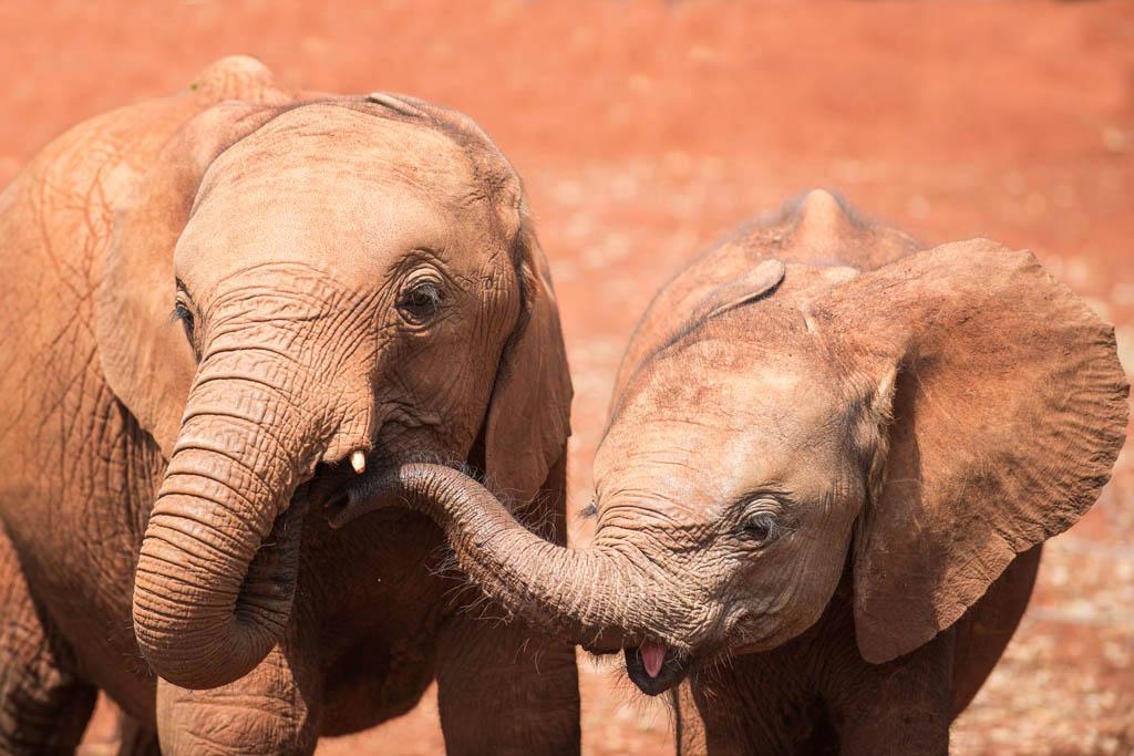 baby elephants orphants at Nairobi elephant orphanage
