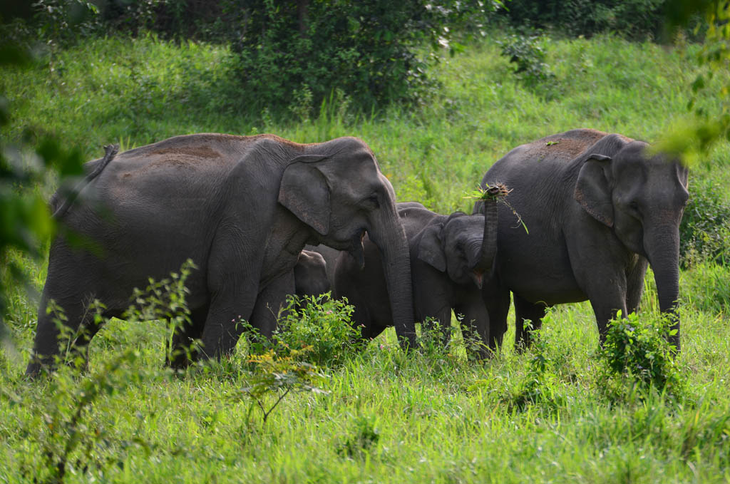 elephant family in the wild in thailand