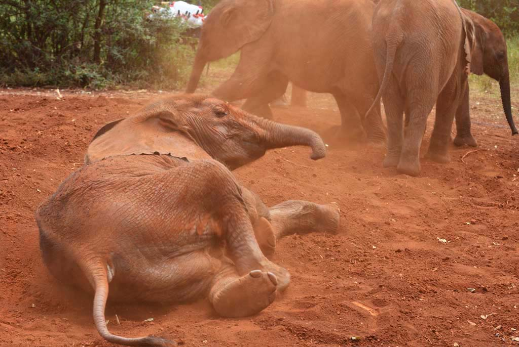 elephant plays in the red dirt at nairobi elephant orphanage