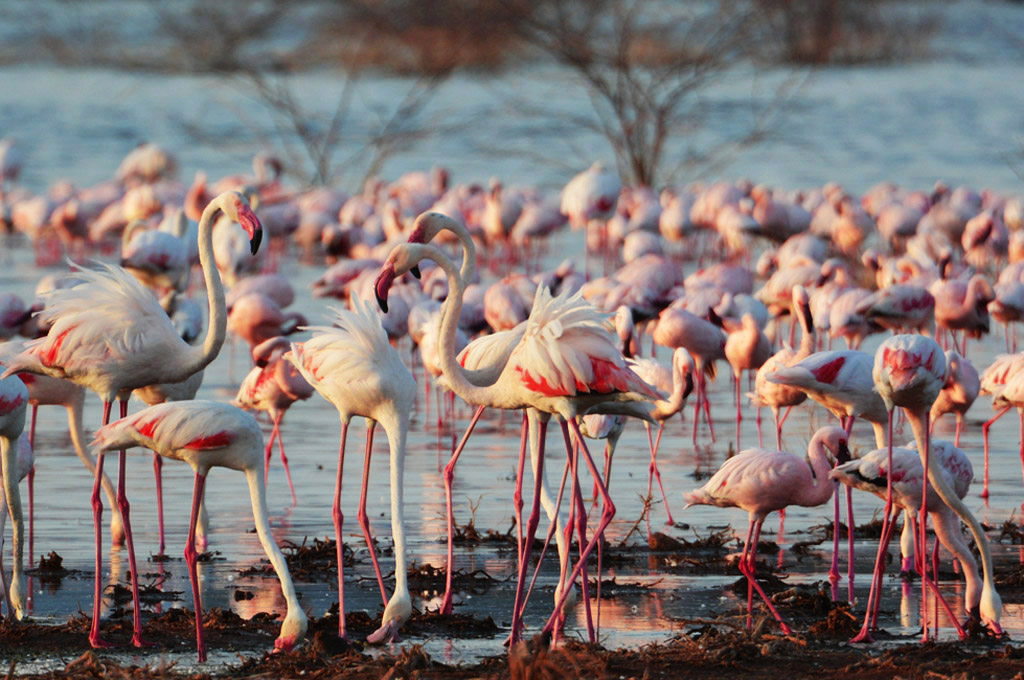 flamingos at lake bogoria