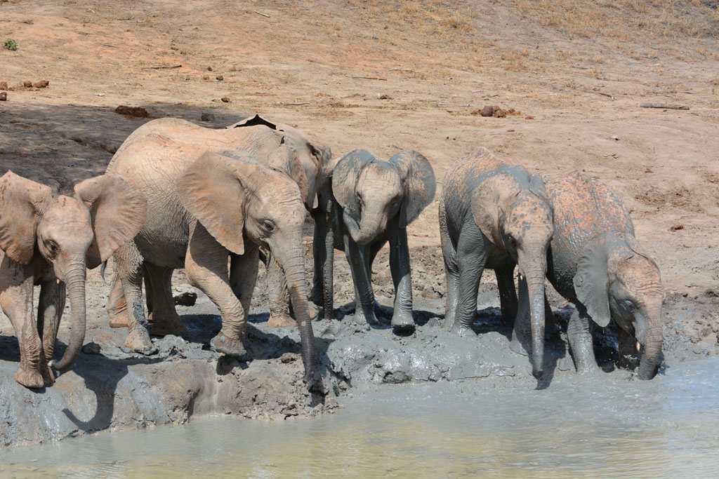 elephants in mud bath at ithumba