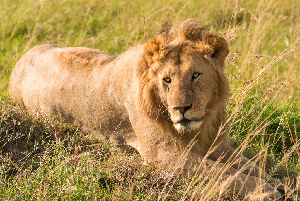 lion sighting in the masai mara
