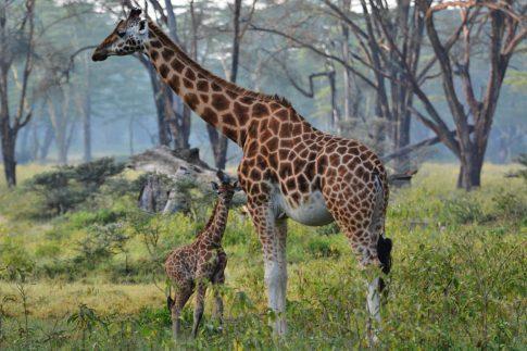 mum and baby giraffe at lake nakuru