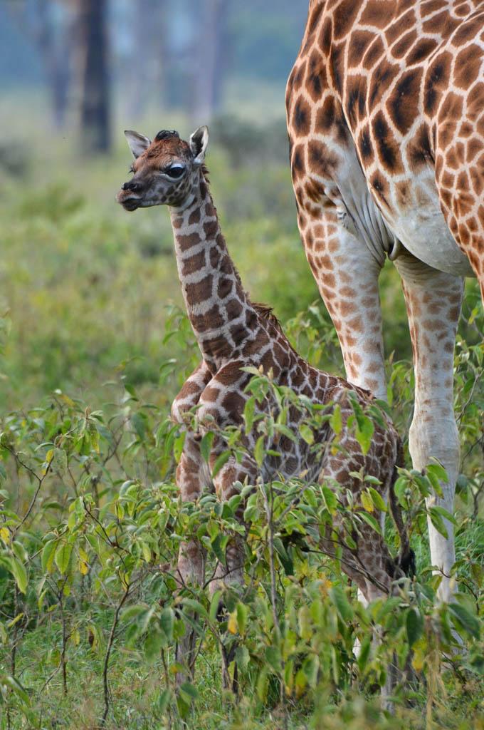 newborn giraffe in lake nakuru