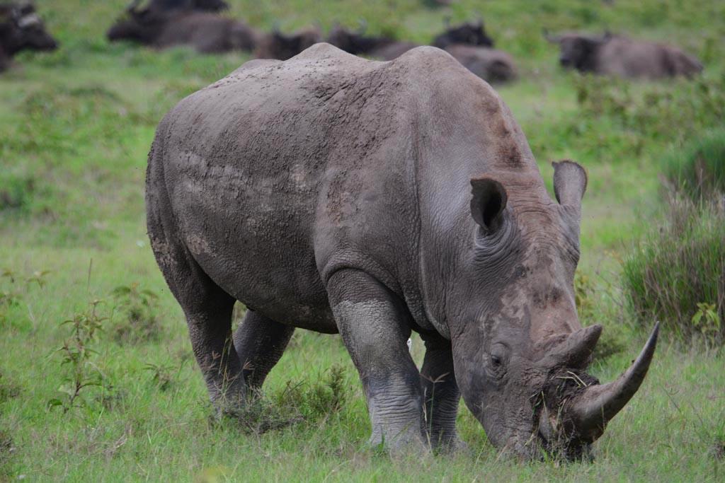 rhino at lake nakuru