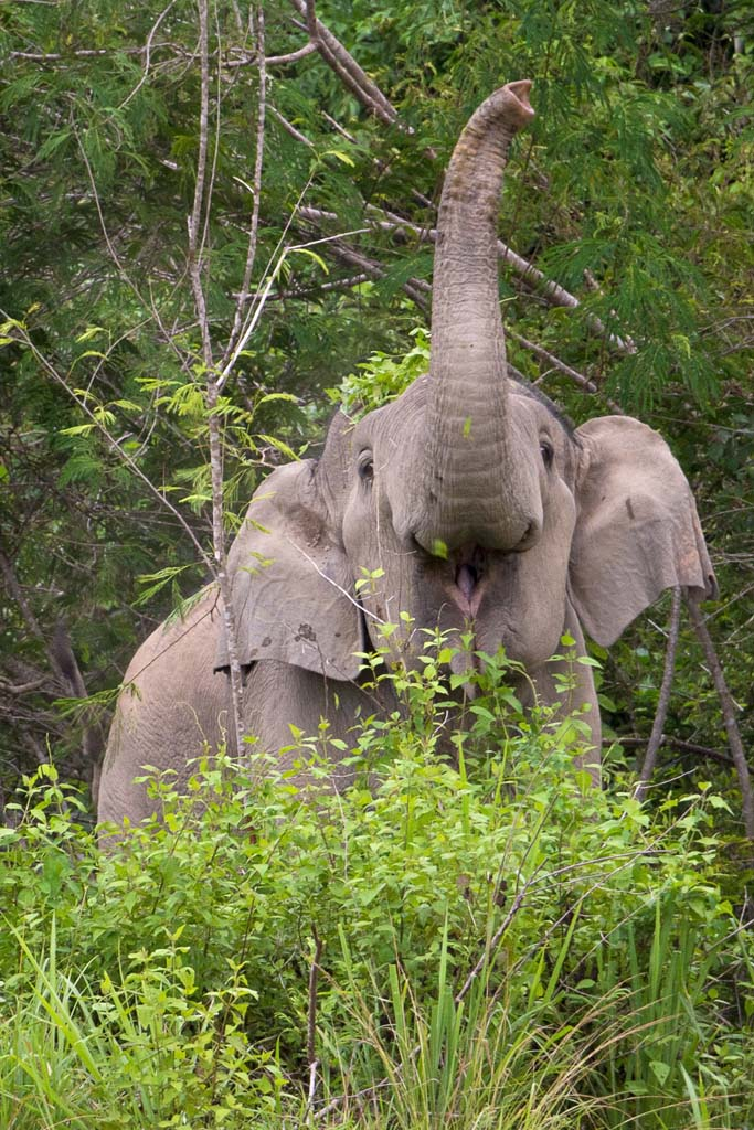 wild elephant in kui buri national park