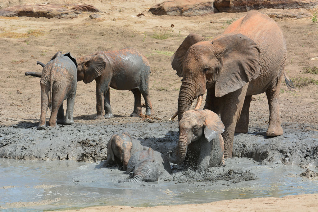 wild elephant in the mudbath with the orphans at Ithumba