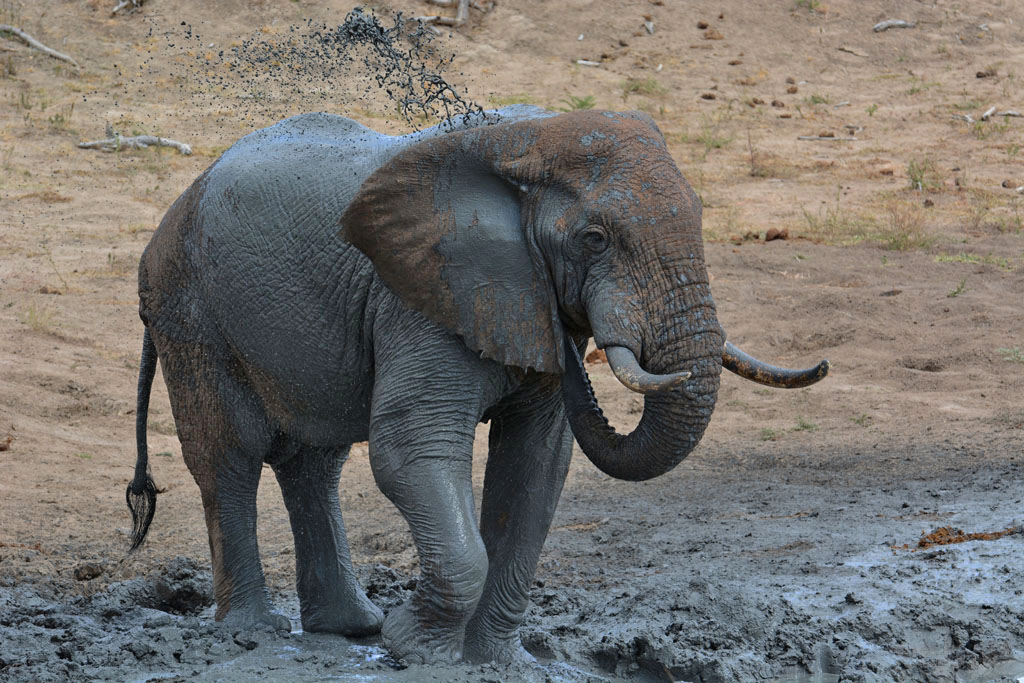 wild elephant plays in the mud