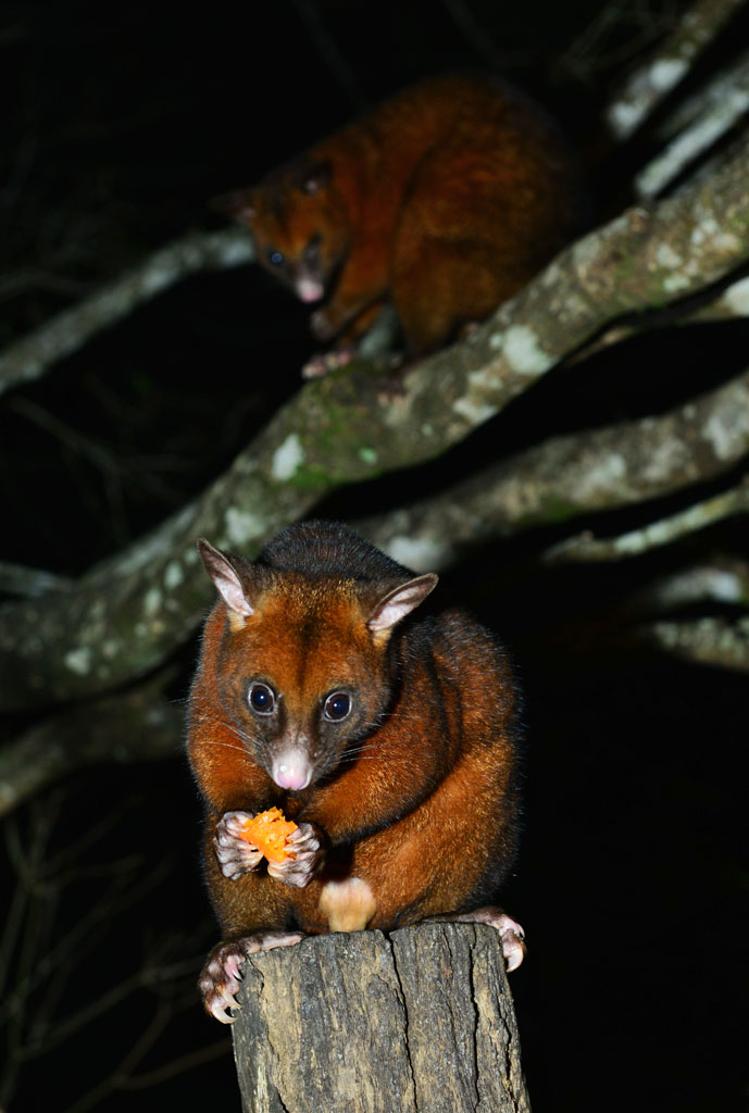 Brushtail Possums at Possums Table Restaurant