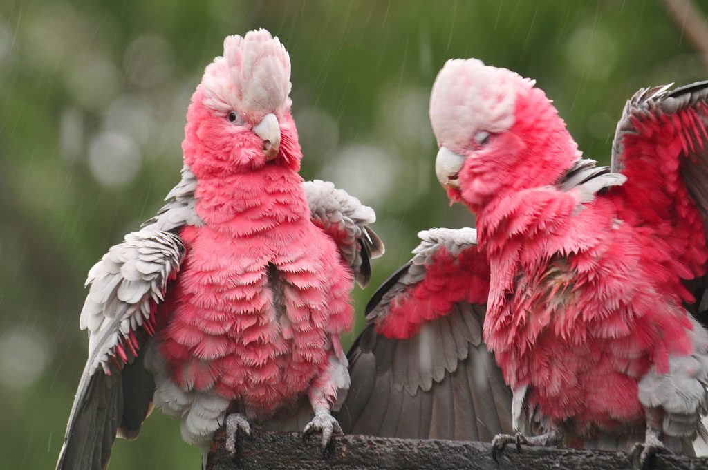 Galahs playing in the rain at Finch Hatton