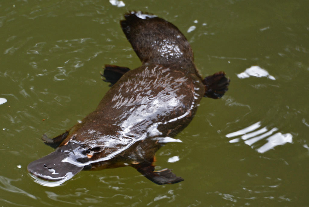 Eungella is one of the best places to see platypus in the wild