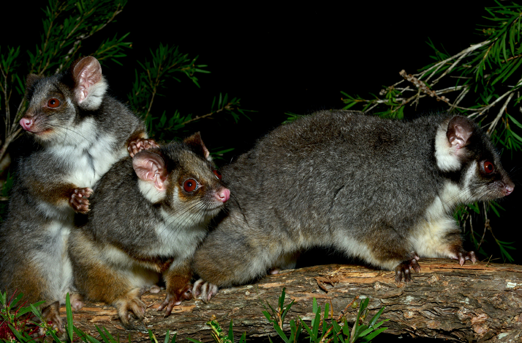 Ringtail Possums
